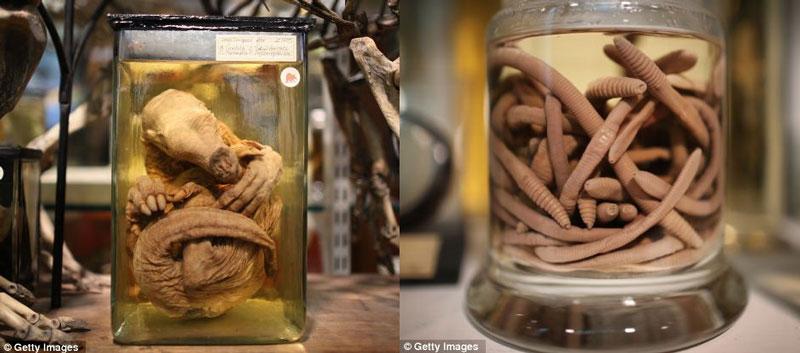 Lợn đất con co tròn lại trong chiếc bình chứa đầy cồn (trái) và giun đất (phải)