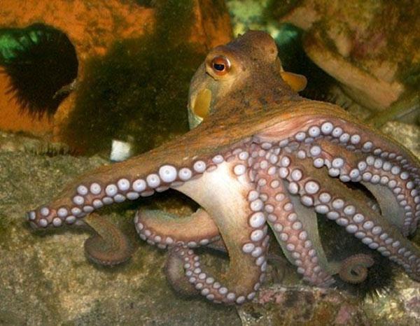 Bạch tuộc thuộc bộ Octopoda