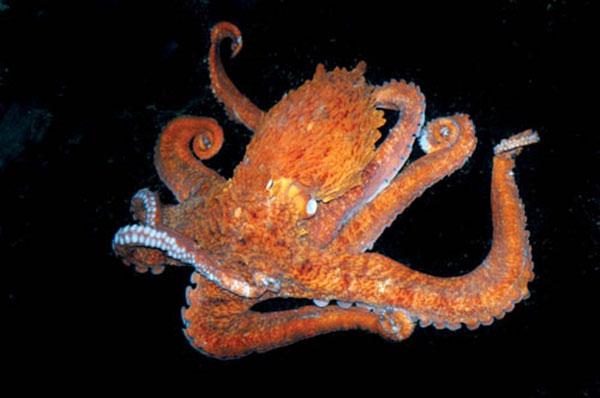 Bạch tuộc có khả năng biến đối màu sắc cơ thể