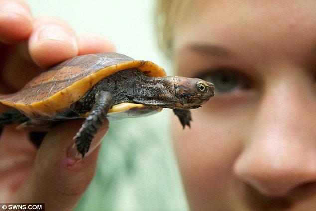 Rùa hiếm của Việt Nam ra đời tại Anh
