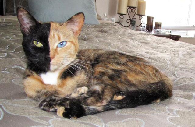 Con mèo hai mặt
