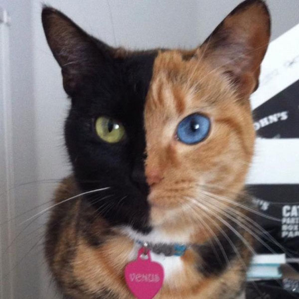 Video: Con mèo hai mặt