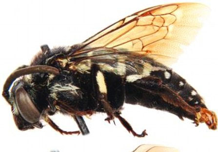 Ong cúc cu