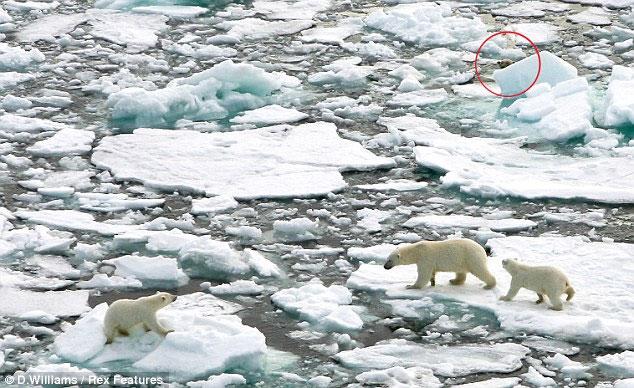 Gấu Bắc Cực rình ăn thịt đồng loại