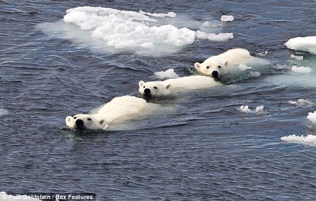 Ba con gấu lao xuống nước để thoát khỏi con gấu đực đang đói ngấu