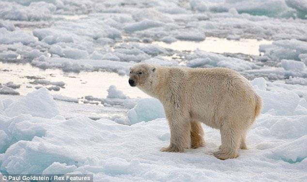 Con gấu đực bất lực nhìn miếng mồi trốn thoát