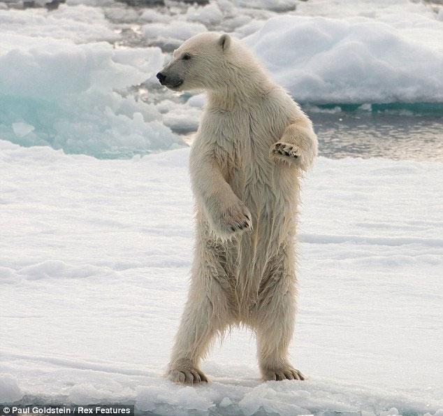 Thậm chí lúc lên bờ, gấu con vẫn không rời mắt khỏi kẻ vừa truy đuổi gia đình mình