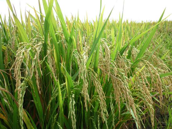 Việt Nam lai tạo thành công hai giống lúa chất lượng cao