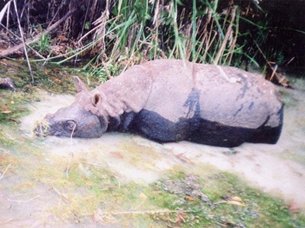 Tương lai mờ mịt của tê giác Java