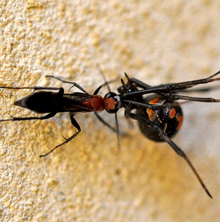 Khắc tinh của nhện độc lưng đỏ