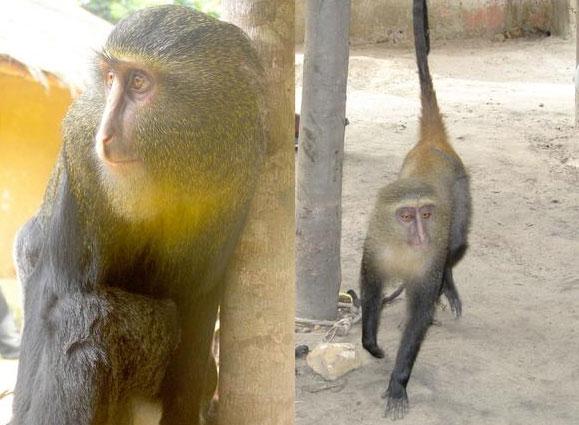 Phát hiện khỉ nhiều màu sặc sỡ
