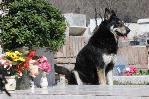Con chó Capitán luôn ở cạnh ngôi mộ chủ suốt 6 năm qua.