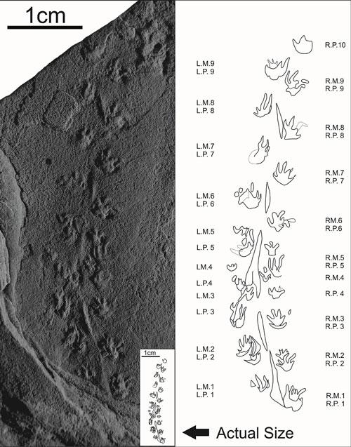 Các dấu chân hóa thạch nhỏ nhất thế giới của động vật.