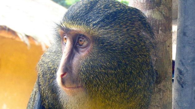 Khỉ Cercopithecus lomamiensis