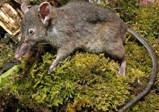 Chuột không răng hàm