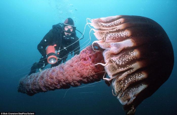Con sứa khổng lồ biển California, Thái Bình Dương có kích thước gấp đôi chiều cao của người đàn ông trưởng thành với những chiếc xúc tua nguy hiểm.