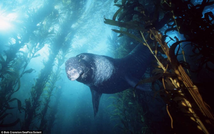 Một con hải cẩu đực khổng lồ đang ẩn trong đám tảo bẹ tại biển California, Thái Bình Dương