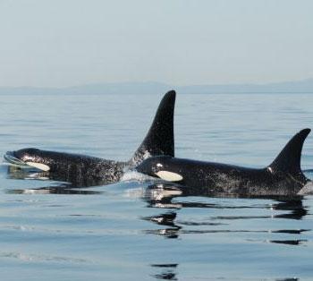 Cá voi sát thủ trưởng thành vẫn sống dựa vào mẹ