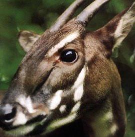 Sao la vào Top 10 loài động vật có vú mới phát hiện