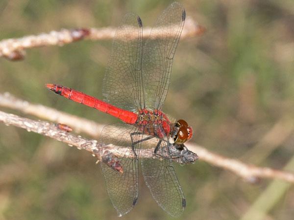 Nguyên nhân biến chuồn chuồn từ vàng thành đỏ