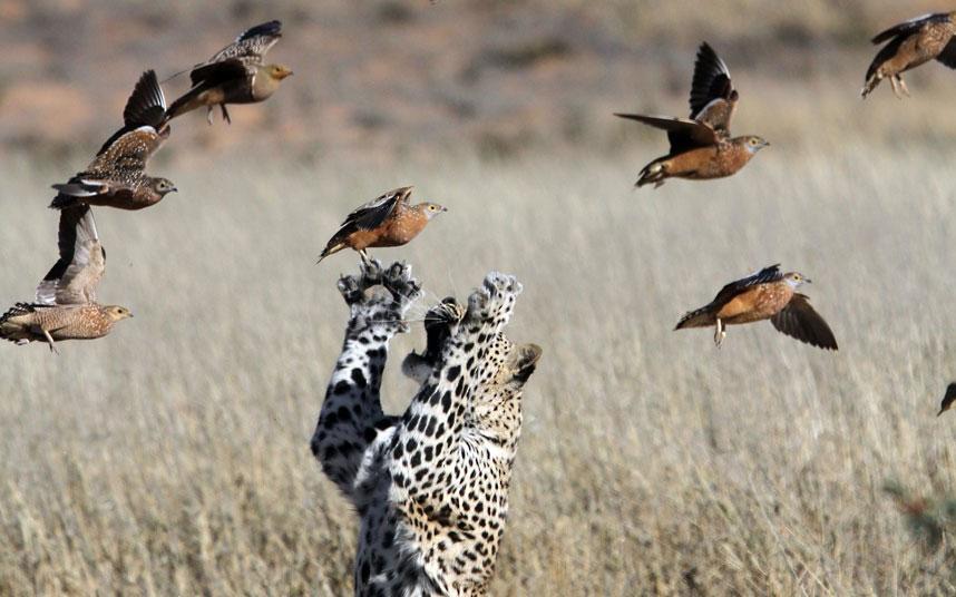 Chú báo này đang quyết tâm thử món thịt chim cho bữa tối.