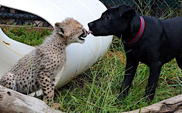 Ảnh động vật tuần qua: Nụ hôn của chó và báo