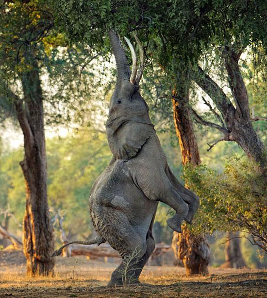 Những chiếc lá quá cao khiến chú voi này phải đứng bằng 2 chân mới dùng vòi với tới được.