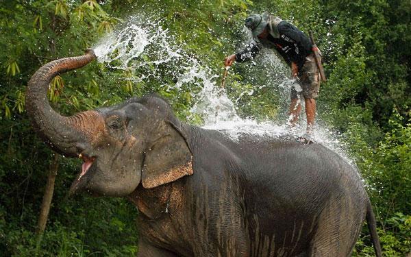 Chú voi này đang tắm mát để lấy tinh thần trước cuộc thi polo trên voi lần thứ 11 diễn ra tại Bangkok, Thái Lan.