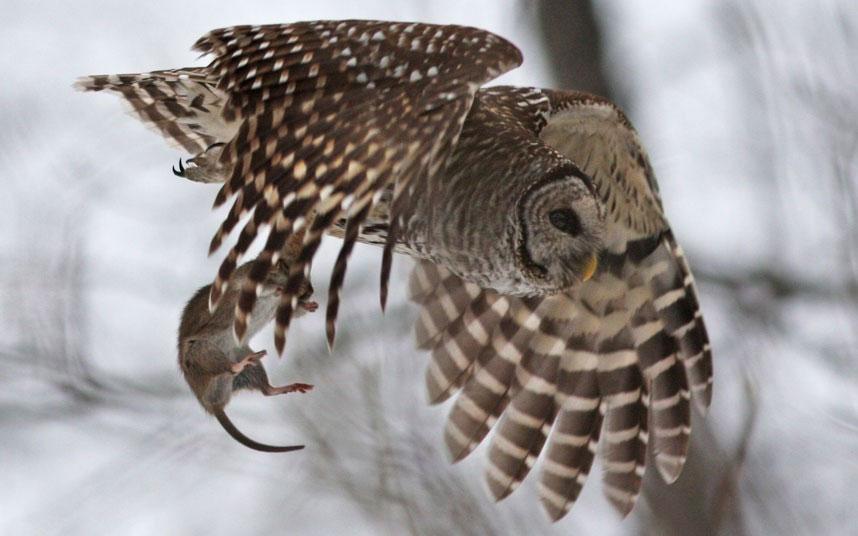 Con chuột xấu số đã không thoát khỏi cặp mắt hau háu của kẻ săn mồi. Từ xa, con cú đã tia thấy nó lẩn trong tuyết trắng.