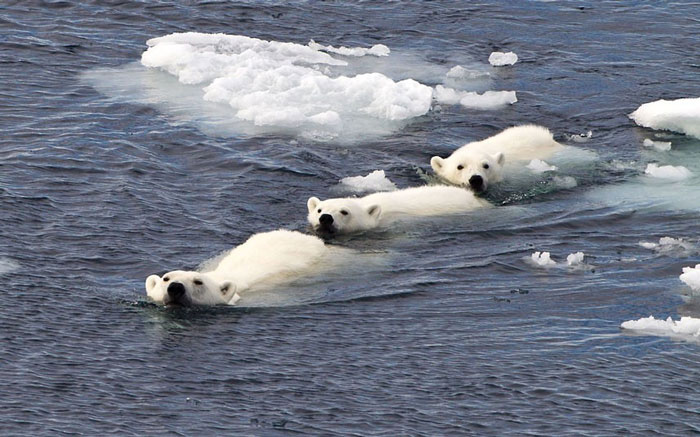 Ba mẹ con gấu Bắc Cực trốn thoát khỏi một con gấu đực đang muốn chén thịt gấu con
