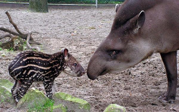 Tại vườn thú Jaderberg (Đức), hai mẹ con heo vòi đang cùng nhau đi dạo.