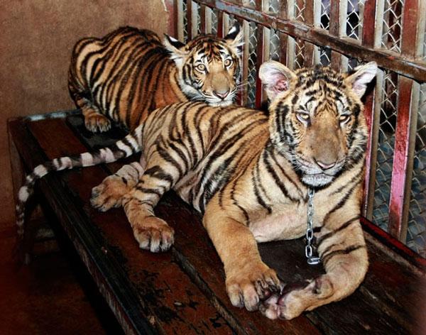 Hai con hổ con bị xích và nhốt tại một căn hộ ở ngoại ô Bangkok (Thái Lan). Một người đàn ông Thái Lan sau đó đã bị bắt vì nuôi trái phép 6 con hổ tại đây.