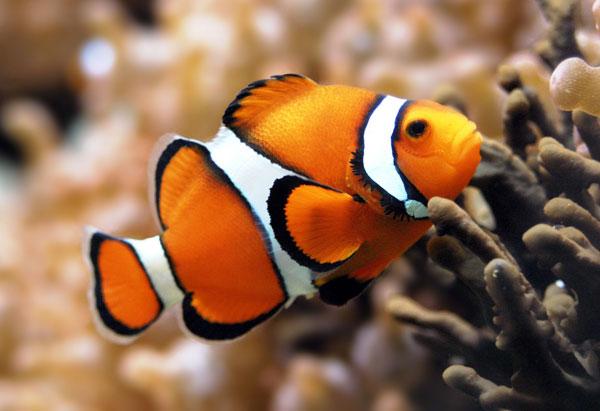 Cá hề cam sắp tuyệt chủng