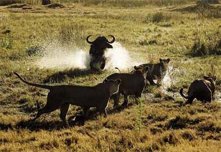 Video: Trâu rừng đuổi sư tử