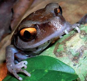 Một số loài ếch của châu Á có thể tuyệt chủng trước khi được phát hiện