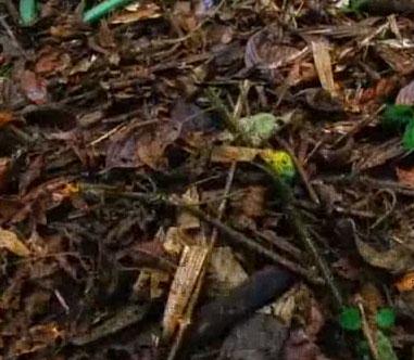 Video: Oai hùm của con kiến