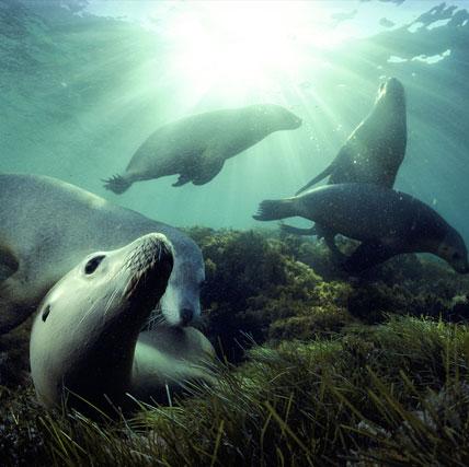 Phát hiện bí quyết lặn sâu săn mồi của sư tử biển