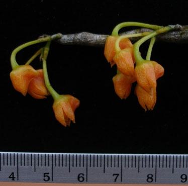Phát hiện loài lan mới chỉ có ở Việt Nam