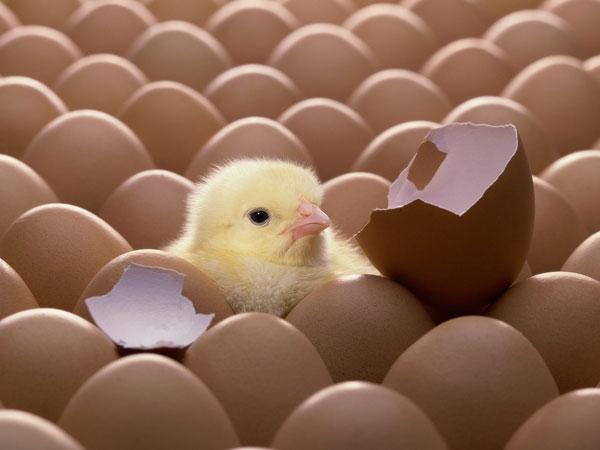 Phú Thọ sản xuất gà giống bằng thụ tinh nhân tạo