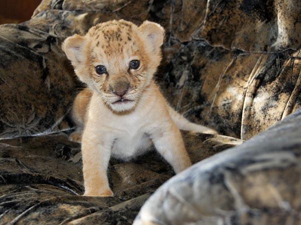 Sư tử hổ đầu tiên sinh con tại Nga