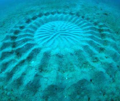"""""""Vòng tròn bí ẩn"""" dưới đáy biển do cá tạo nên"""