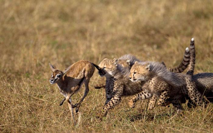 Những chú báo con mải miết đuổi theo con mồi mà mẹ của chúng chỉ định để luyện tập kỹ năng săn bắt.