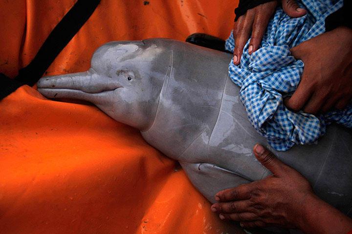 Một con cá heo con thuộc giống cá heo nước ngọt vừa được cứu sống trên sông Palias, Bolivia