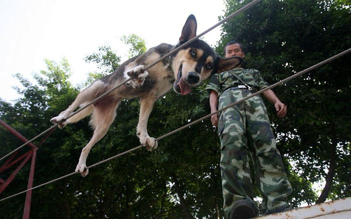 Một chú chó thuộc Lực lượng cứu hỏa ở Trùng Khánh (Trung Quốc) tập đi trên 2 sợi dây thừng dài 10m để rèn luyện kỹ năng cứu hộ.