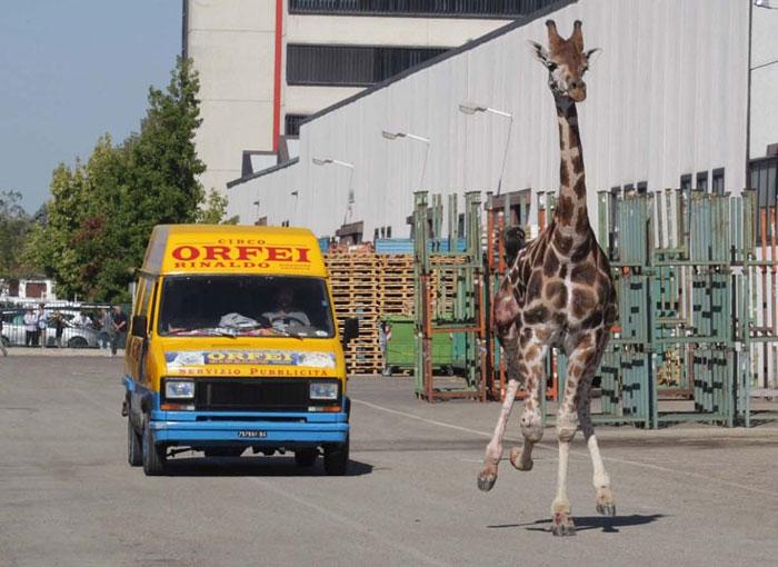 Con hươu cao cổ chạy tung tăng ngoài đường sau khi trốn thoát khỏi một rạp xiếc ở Italia.