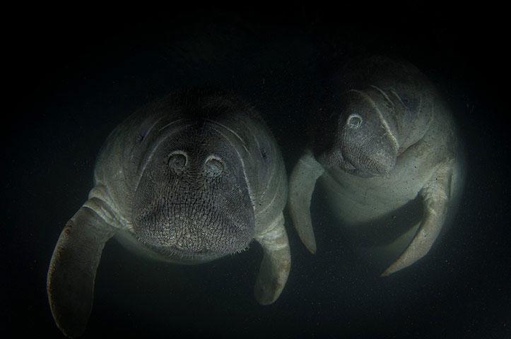 Bức ảnh chụp 2 con lợn biển đoạt giải năm nay trong cuộc thi ảnh do Hội động vật học London (Anh) tổ chức.