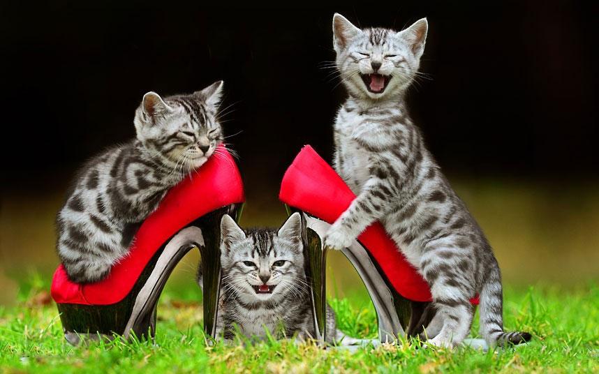 Các chú mèo con Bengal đang chuẩn bị cho buổi trình diễn của mình tại Royal Melbourne Show (Úc) 2012.