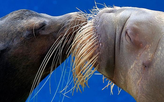 Nụ hôn say đắm của con sư tử biển California và một con hải mã trong buổi biểu diễn tại công viên giải trí Hakkeijima Sea Paradise ở Yokohama, Nhật Bản.