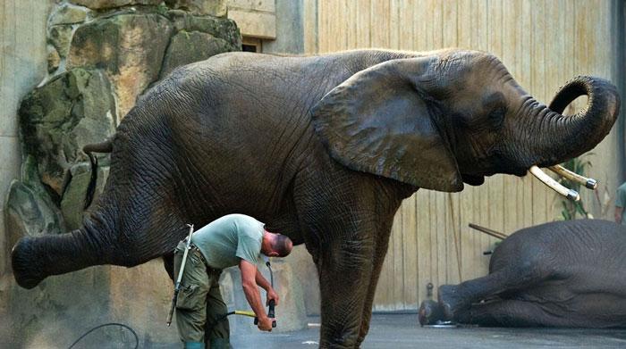 Tại vườn thú ở Dresden (Đức), một con voi khoan khoái giơ chân lên tắm mát, trong khi một con khác nằm ngủ ngon lành.