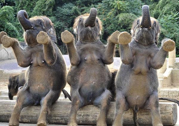 Màn trình diễn ngộ nghĩnh của voi tại vườn thú Hanover (Đức).